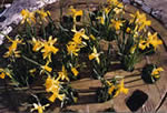Grate Spring (Daffodils)